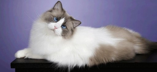 ragdoll-cat-wallpaper-full-hd-images-top-desktop-imges-wide-screen